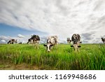 black and white milk cows graze ... | Shutterstock . vector #1169948686