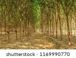 rubber plantation in the morning | Shutterstock . vector #1169990770