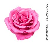 Stock photo closeup pink rose isolated on white background 1169992729