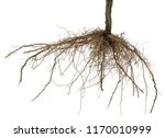 roots of tree or plant isolated ... | Shutterstock . vector #1170010999