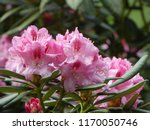Colorful Flowering Rhododendron