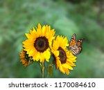 Butterfly Sunflower Hd Photo High - Fine Art prints