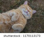 Stock photo domesticated cute fat orange tabby cat lying and sleeping on grass with paws up 1170113173