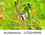 the great tit  parus major  is... | Shutterstock . vector #1170144940
