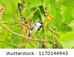 the great tit  parus major  is... | Shutterstock . vector #1170144943