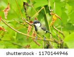 the great tit  parus major  is... | Shutterstock . vector #1170144946