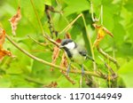 the great tit  parus major  is... | Shutterstock . vector #1170144949