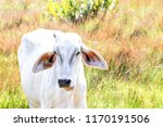 close up on ox grazing  sunny... | Shutterstock . vector #1170191506