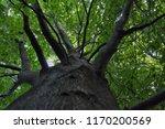 underneath a giant beech tree. | Shutterstock . vector #1170200569