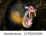 Monkey Mandril Open Mouth