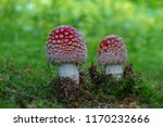 amanita muscaria  poisonous... | Shutterstock . vector #1170232666