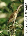 indigo bunting  passerina... | Shutterstock . vector #1170244483