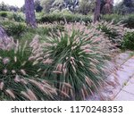 Ornamental Grass In The Garden...