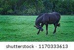 black stallion rubbing face | Shutterstock . vector #1170333613