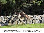 three namibian giraffes ... | Shutterstock . vector #1170394249