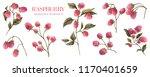 watercolor raspberry. botanical ... | Shutterstock . vector #1170401659