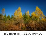 Grove Of Young Birches And...