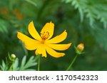 yellow cosmos or cosmos... | Shutterstock . vector #1170542323