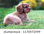 adorable puppy lying on the... | Shutterstock . vector #1170572599