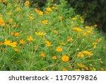 yellow cosmos or cosmos... | Shutterstock . vector #1170579826