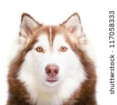 Close Up Of Siberian Husky  In...