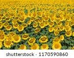 amazing and beautiful sunflower ...   Shutterstock . vector #1170590860