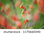twig filled with fresh goji... | Shutterstock . vector #1170660340