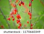 twig filled with fresh goji... | Shutterstock . vector #1170660349