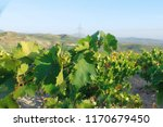 Vineyards Grapes Andalusia Spain - Fine Art prints
