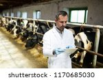 Stock photo waist up portrait of mature veterinarian or farm worker using digital tablet while working with 1170685030