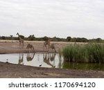 south african giraffe group ... | Shutterstock . vector #1170694120