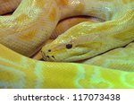 a large coiled albino burmese... | Shutterstock . vector #117073438
