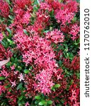 spike flower blooming  red... | Shutterstock . vector #1170762010