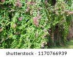 polygonaceae   polygonaceae  on ... | Shutterstock . vector #1170766939