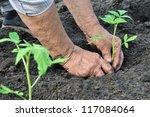 Senior Woman Planting A Tomato...