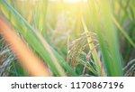 rice field in sunrise | Shutterstock . vector #1170867196