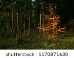 young beech illuminated by the... | Shutterstock . vector #1170871630