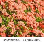 beautiful spike flower blooming ... | Shutterstock . vector #1170892093