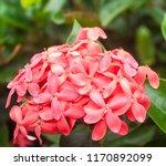 beautiful spike flower blooming ... | Shutterstock . vector #1170892099