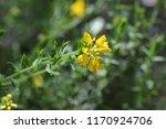 Spanish Gorse Yellow Flower  ...