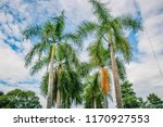 beauty of the royal palm tree...   Shutterstock . vector #1170927553
