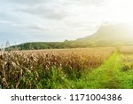 dry corn fields awaiting... | Shutterstock . vector #1171004386