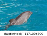 dolphin swimming in blue water... | Shutterstock . vector #1171006900
