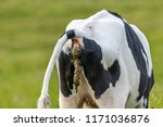 cow dropping shit | Shutterstock . vector #1171036876