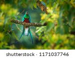 resplendent quetzal with fruit... | Shutterstock . vector #1171037746