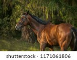 majestic brown stallion... | Shutterstock . vector #1171061806