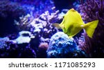 Image Of Zebrasoma Yellow Tang...