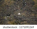 polar bears on franz joseph...   Shutterstock . vector #1171091269