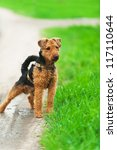 Welsh Terrier For Walk In Park.