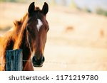 Stock photo australian horse in the paddock during the day 1171219780